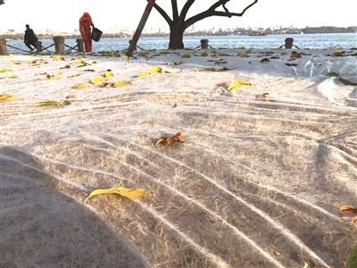 杭州西湖边的小草为什么盖了一床